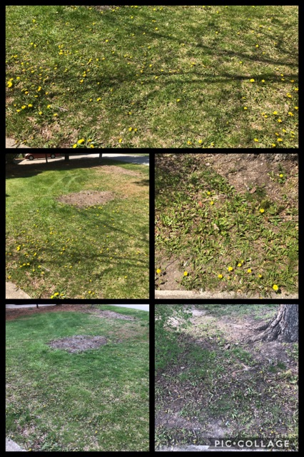 Before and After dandelion control
